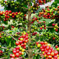 Les champs de café