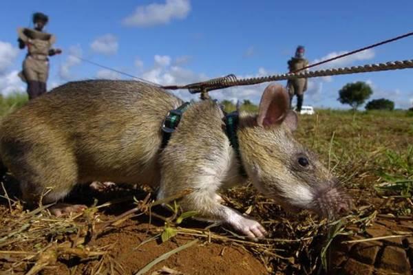 Des rats démineurs, sauveur de vies