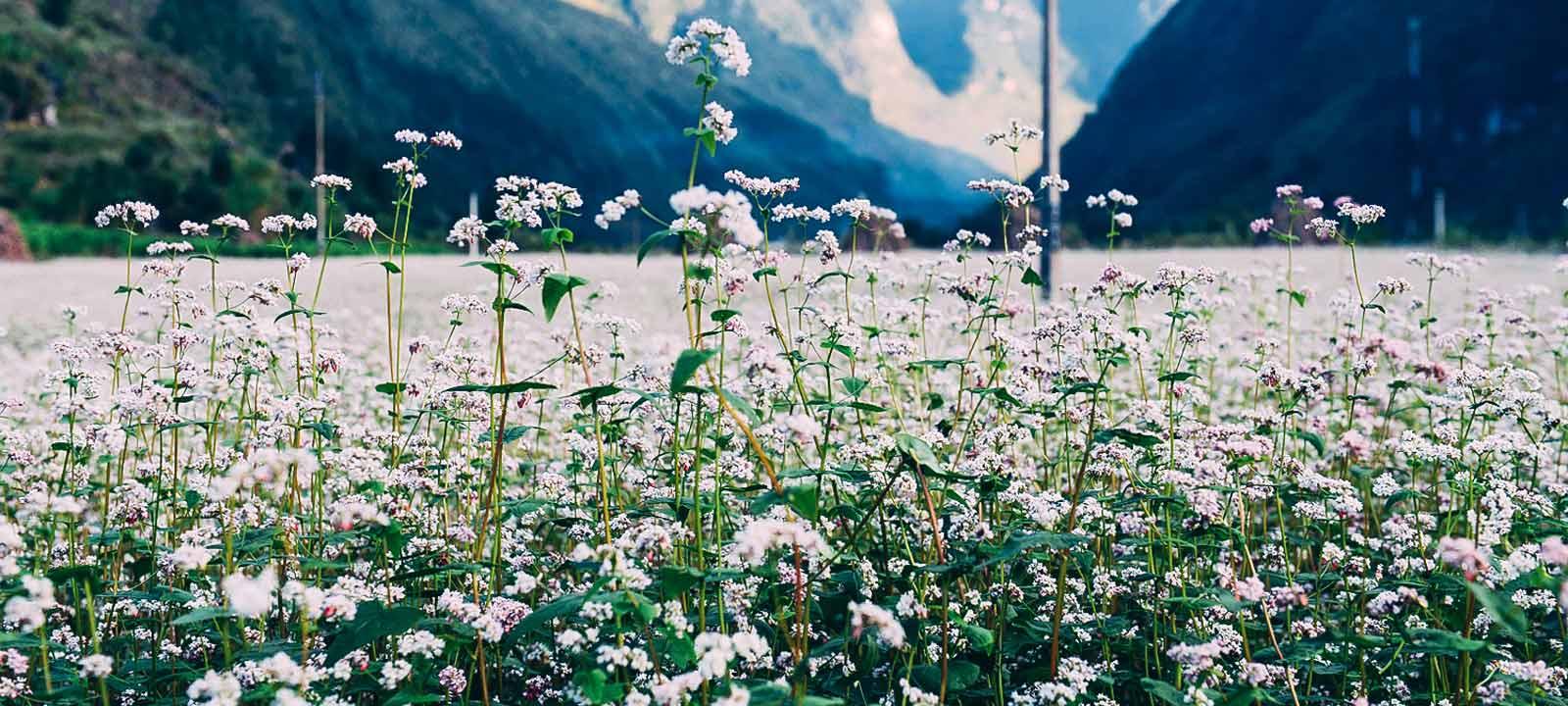 Saison des fleurs de sarrasin à Ha Giang