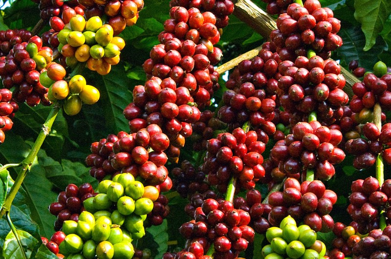 cafe, vietnam, plantation, graines de cafe